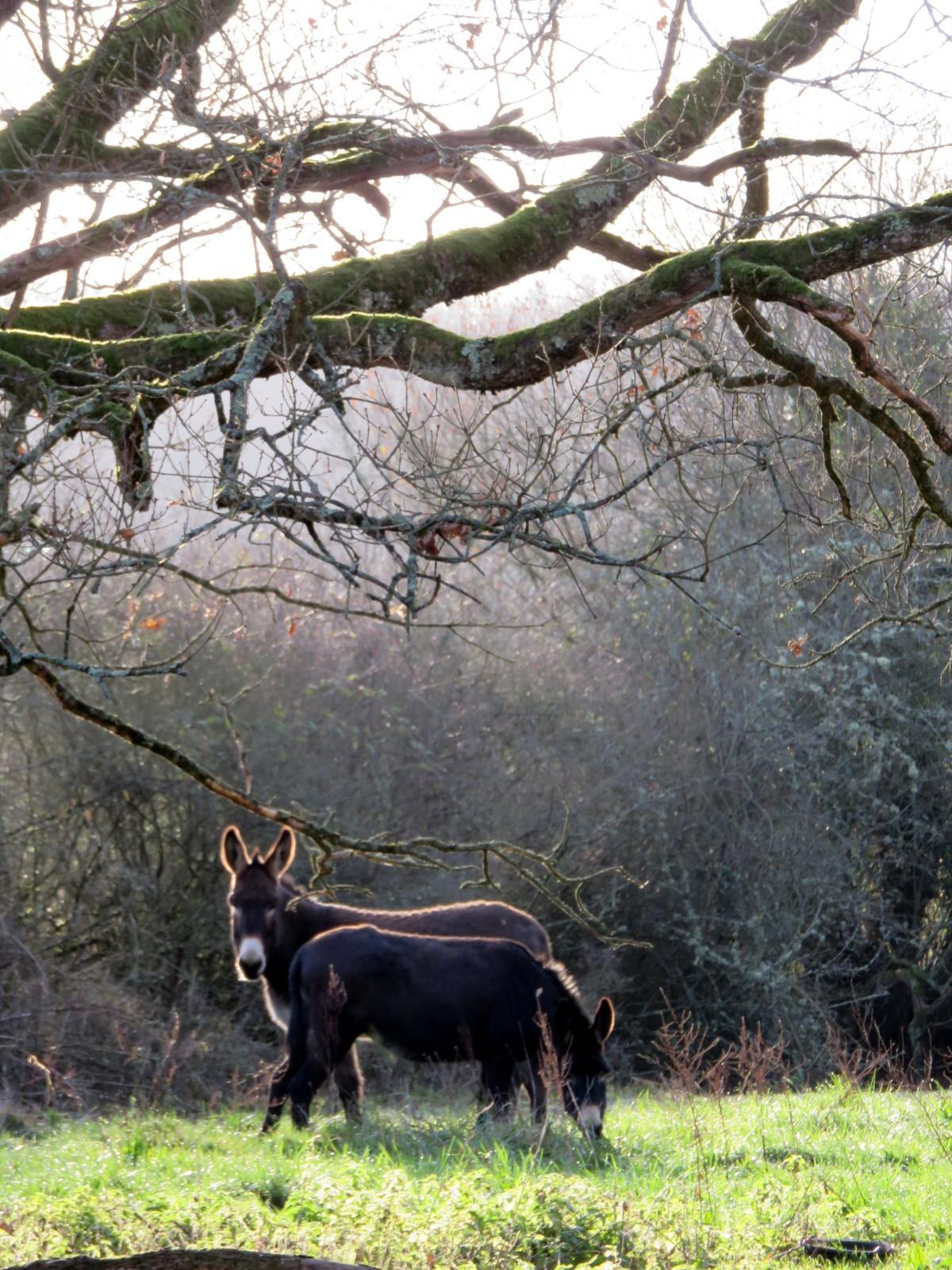 Photo : Anes grands noirs du Berry, France, Animaux, Animaux de ferme, Bétail, Ânes.