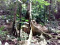 Arbre aux racines majestueuses