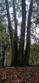 Chêne à quatre futs