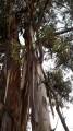 Le bois des Eucalyptus