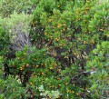 Calanques - La Balade des arbousiers (Arbutus unedo)