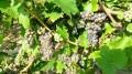 Les raisins début Aout 2016
