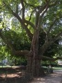 platane bi-centenaire dans le parc Monceau